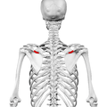 Deltoid tubercle of spine of scapula01.png