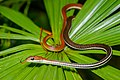 Dendrelaphis caudolineatus, striped bronzeback.jpg