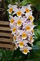 Dendrobium farmeri - Kroton 001.JPG