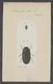 Dermestes - Print - Iconographia Zoologica - Special Collections University of Amsterdam - UBAINV0274 018 08 0008.tif
