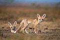 Desert Fox Pups.jpg