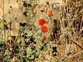 Desert Mallow - Flickr - treegrow (1).jpg