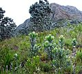 Devils Peak with Silvertree Forest regrowth - Cape Town.jpg