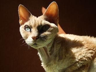 Devon Rex - Image: Devonrex cat