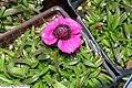 Dianthus alpinus Joans Blood 0zz.jpg
