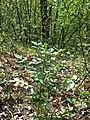 Dictamnus albus sl101.jpg