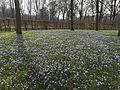 Die Blüte der Sternhyazinthen in den Maximiliansanlagen in München im März jeden Jahres II.jpg