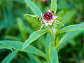 Die Strohblume, lat. Helichrysum bracteatum, Xerochrysum bracteatum, Bracteantha bracteata 20.jpg