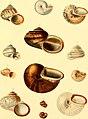 Die gedeckelten Lungenschnecken - (Helicinaceae et Cyclostomaceae) - in Abbildungen nach der Natur mit Beschreibungen (1846) (20736251029).jpg