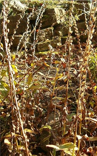 Digitalis grandiflora - Image: Digitalis grandiflora Bot Gard Bln 1105Fruits A