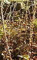 Digitalis grandiflora BotGardBln1105FruitsA.jpg