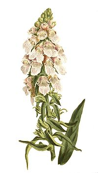 Digitalis lanata-no text.jpg