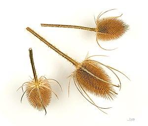 Dipsacus - Teasel comb