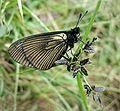 DirkvdM butterfly grass.jpg