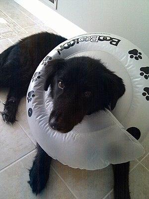Elizabethan collar - Image: Dog Wearing Inflatable Elizabethan Collar