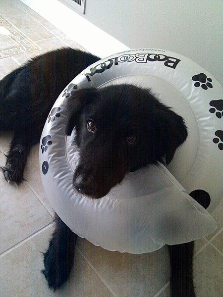 File:Dog Wearing Inflatable Elizabethan Collar.jpg