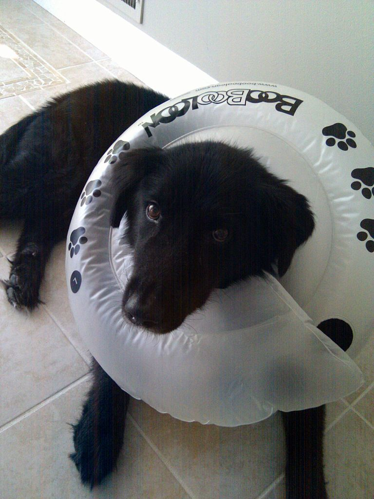Elizabethan Collar For Dogs How To Make