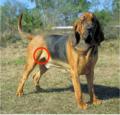 Dog morphological variation (flappy bit highlighted).png