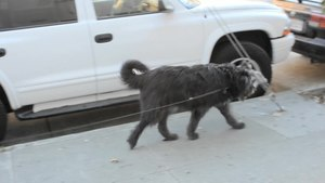 File:Dog walking in the Mission in San Francisco.ogv