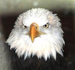 Bald eagle eye color