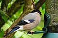 Domherre Eurasian Bullfinch (20164096569).jpg
