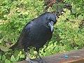 Dr. Malcolm Brigden Crow Friend.jpg