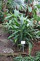 Dracaena aubryana - Botanischer Garten - Heidelberg, Germany - DSC01042.jpg