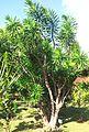 Dracaena reflexa - floribunda - bois de chandelle - MonVert Arboretum 2.jpg