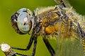 Dragonfly (18300308279).jpg