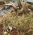 Drosera binata HabitusInflorescences BotGardBln0806a.jpg
