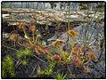 Drosera rotundifolia (7189675399).jpg