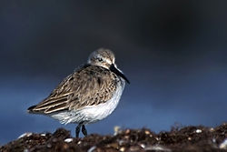 meaning of dunlin
