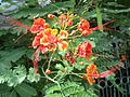 Dwarf poinciana (Caesalpinia pulcherrima) flowers.jpg