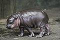 Dwerg nijlpaard baby Flory (4023203232).jpg