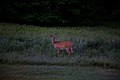 Early-spring-morning-deer - West Virginia - ForestWander.jpg