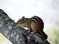 Eastern Chipmunk (15842654206).jpg