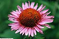 Echinacea purpurea Fancy Frills 2zz.jpg