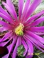 Echinocereus (3564678190).jpg