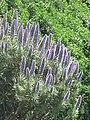 Echium candicans (Cap-Martin) 3.jpg
