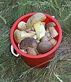 Edible fungi in bucket 2011 G1.jpg