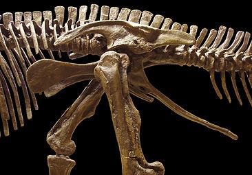 Edmontosaurus pelvis left.jpg