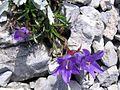 Edraianthus graminifolius PID1418-3.jpg