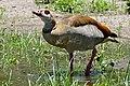 Egyptian Goose (Alopochen aegyptiaca) drinking, Kruger NP (33457718131).jpg