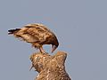 Egyptian Vulture preening.jpg
