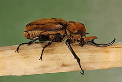 Elephant Beetle Megasoma elephas Male Side 2699px.jpg