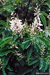 Elliottia racemosa