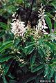 Elliottia racemosa.jpg