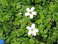 Ellisiophyllum pinnatum - Flickr - peganum.jpg