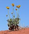 Enceliopsis argophylla 8.jpg