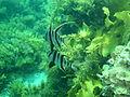 Enoplosus armatus P1222796.JPG